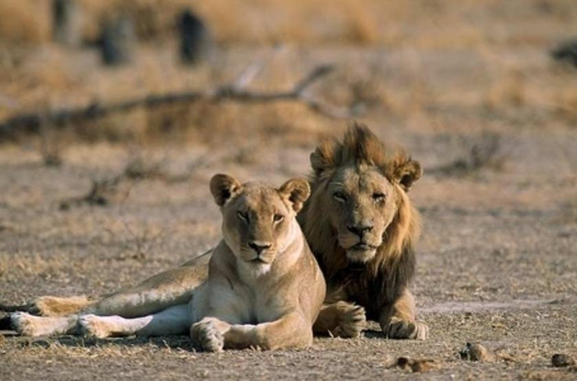 Kuyenda Bushcam, South Luangwa, Zambie, safari en 4x4
