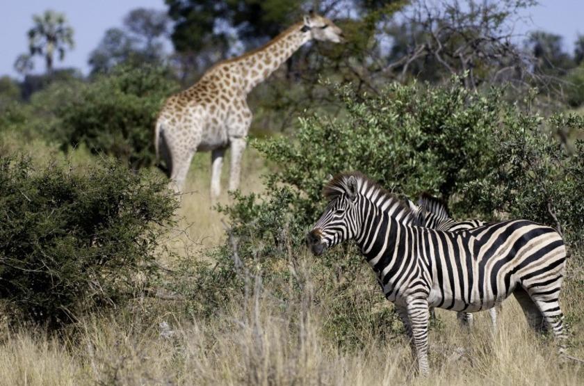 Abu Camp, Delta de l'Okavango, Botswana, safari