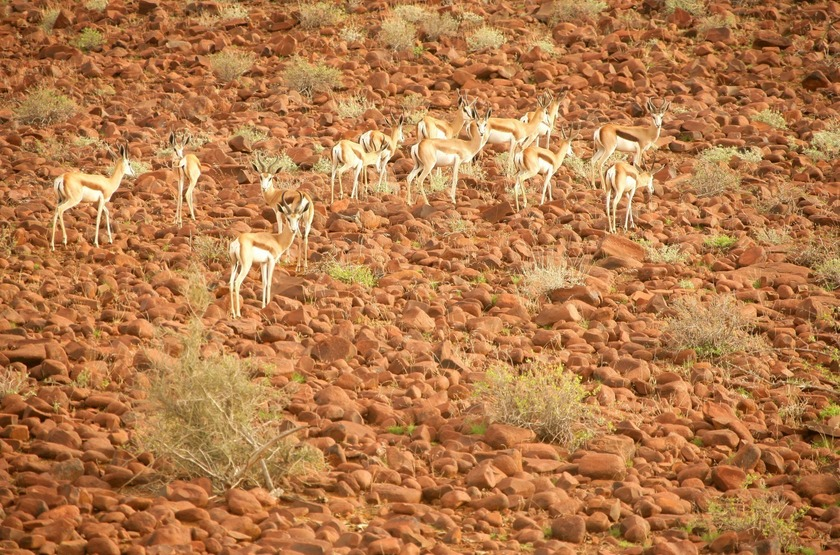 Damaraland Camp,vallée d'Huab, Namibie, gemsbocks