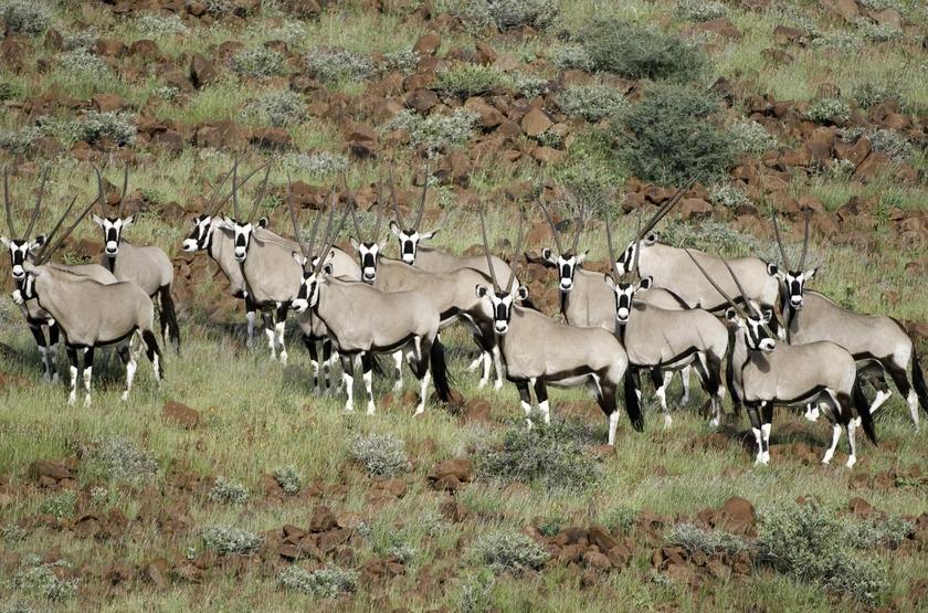 Damaraland Camp,vallée d'Huab, Namibie, oryxs