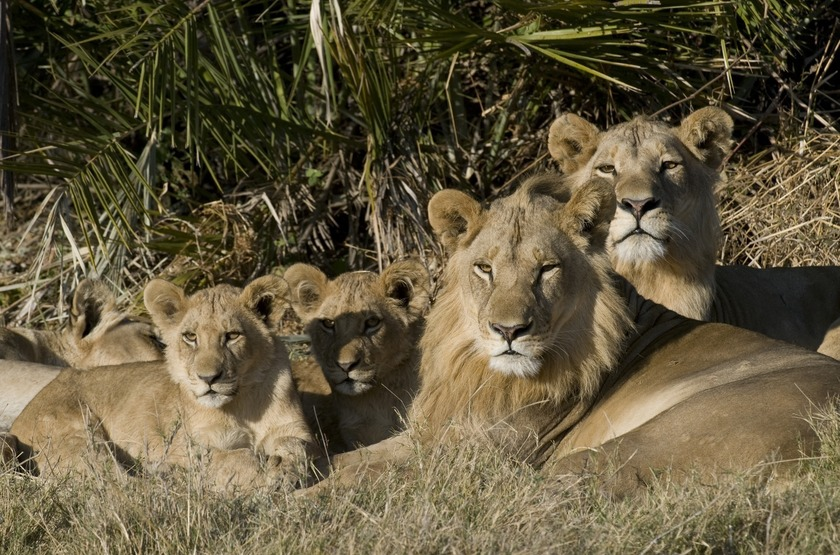 Botswana   mombo camp   bebes lions   chief s island slideshow