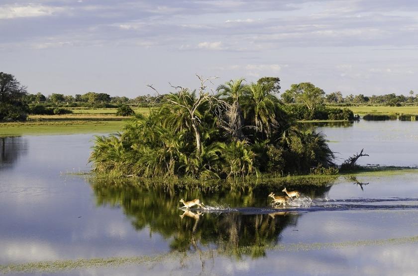 Jao Camp, concession de Jao, Botswana, lechwes