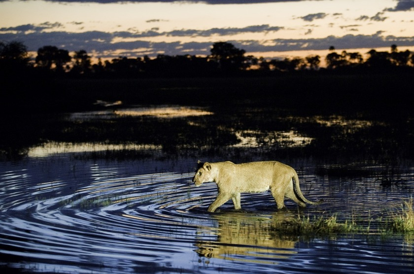 Botswana   jao camp   lionne slideshow