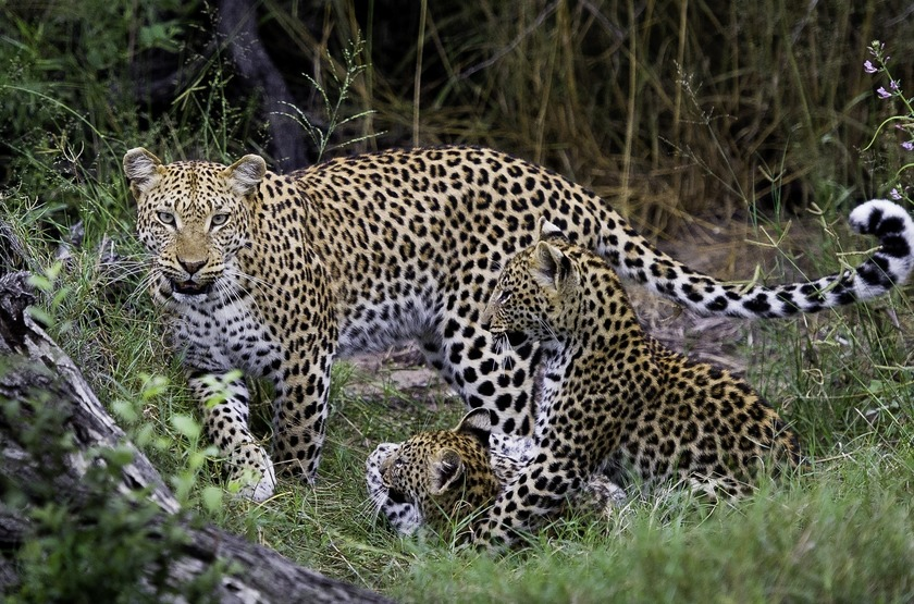 Botswana   jao camp   leopard slideshow