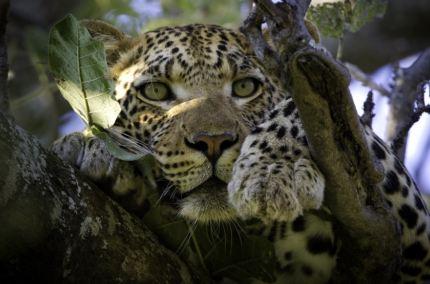 Botswana   vumbura plains   leopard slideshow