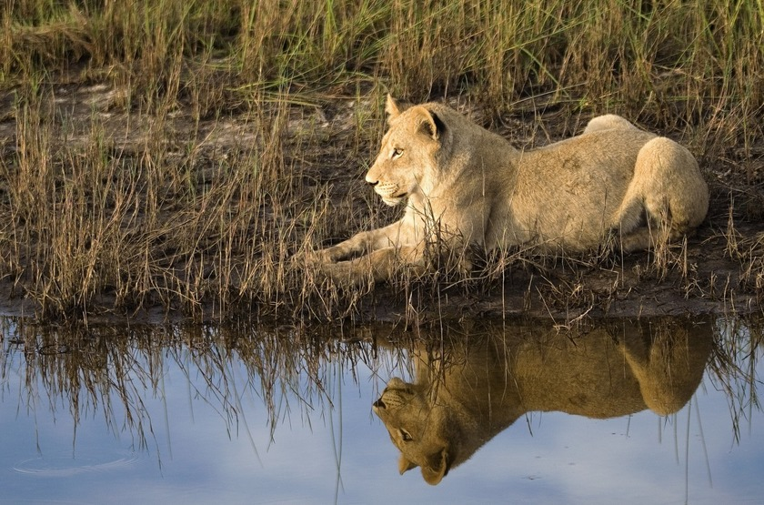 Botswana   vumbura plains   lionne slideshow