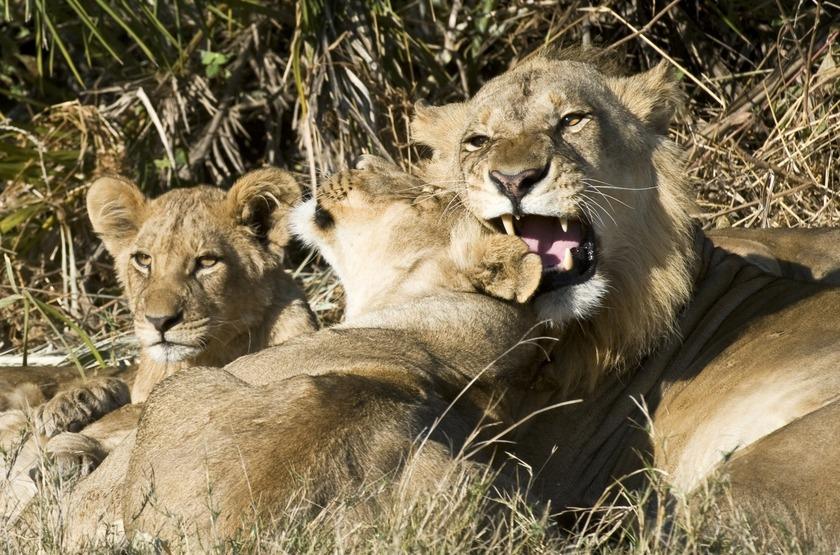 Botswana   little mombo   famille   lion   moremi slideshow