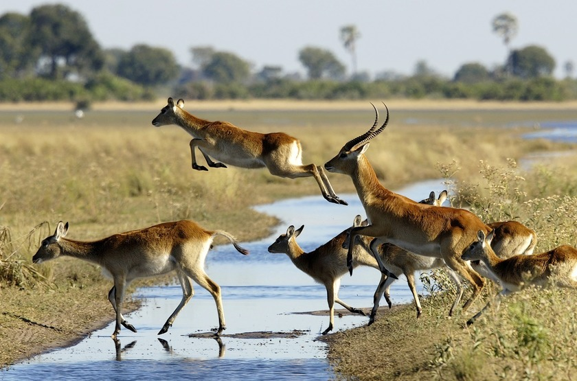 Jacana Camp, delta de l'Okavango, Botswana, lechwes