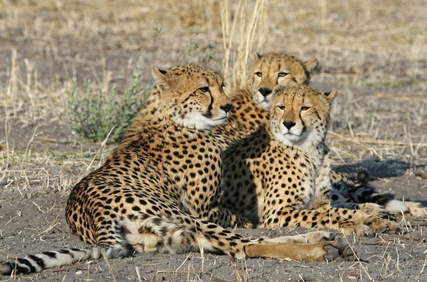 Botswana   chitabe camp   guepards slideshow