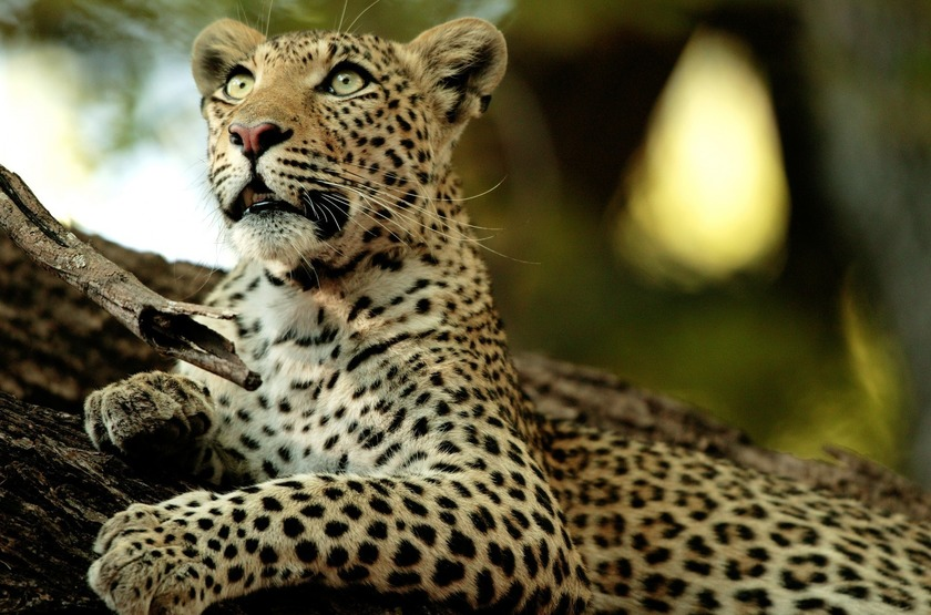 Botswana   chitabe camp   leopard slideshow
