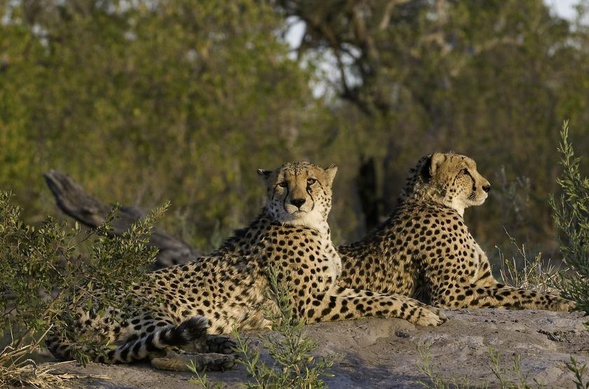 Zarafa Camp, Linyanti, Botswana, safari en 4x4
