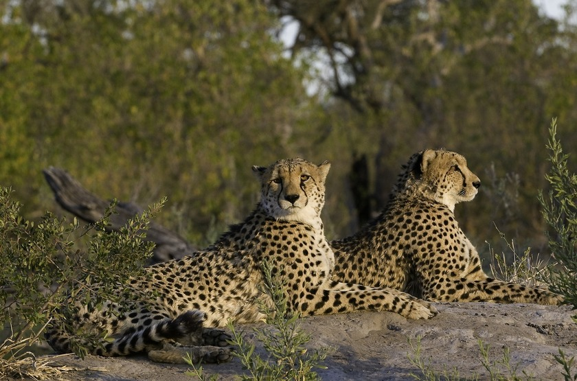 Botswana   zafara camp   linyanti   guepard slideshow