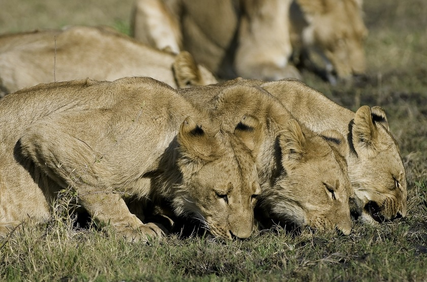 Botswana   zafara camp   linyanti   lion slideshow