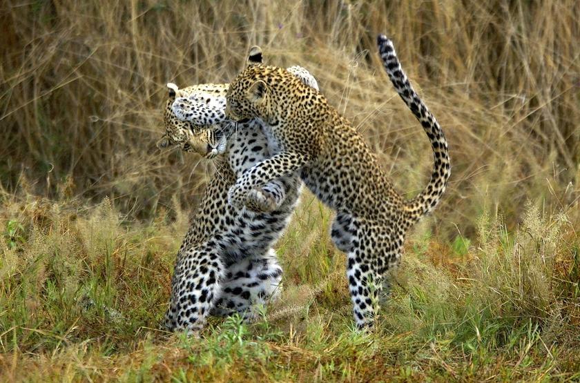 Chitabe Lediba Camp, delta de l'Okavango, léopards