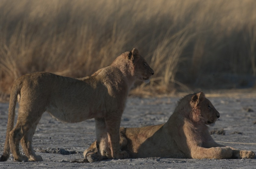 Chitabe Lediba Camp, delta de l'Okavango, lionnes