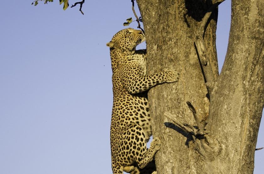 Little Vumbura, Okavango, Botswana, léopard