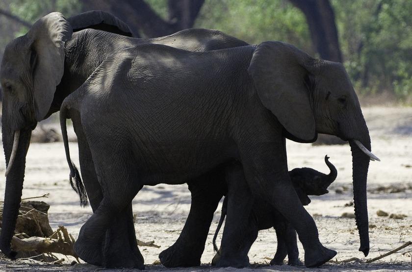 Zimbabwe   ruckomechi camp   elephants slideshow