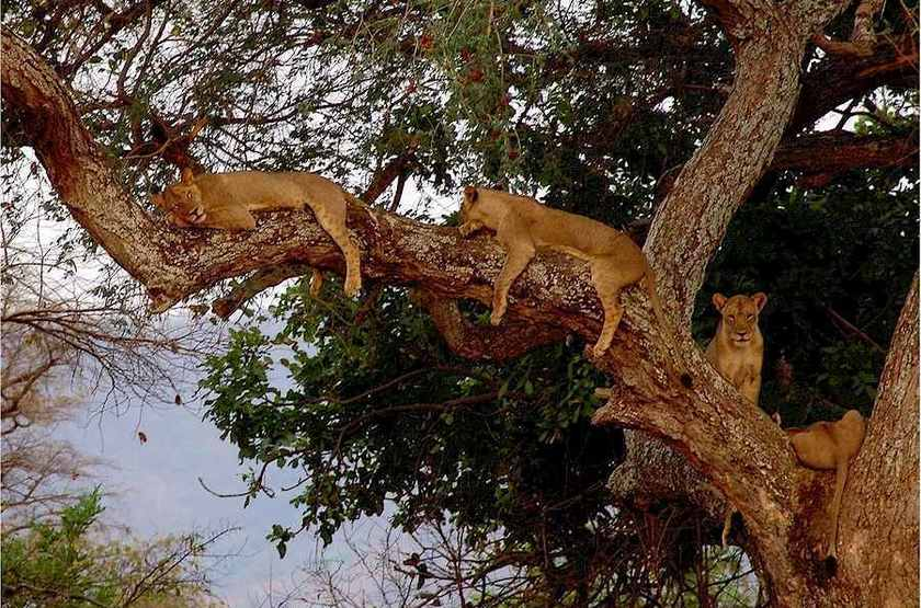 Zambia luangwa valley chindeni tree lions slideshow