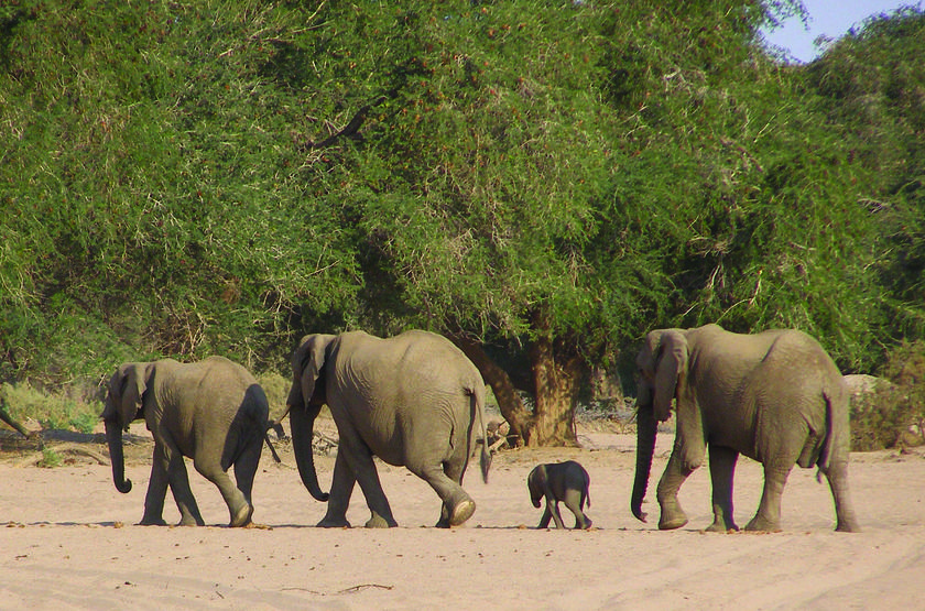 Fort sesfontein lodge   namibie fort sesfontein   elephants de desert slideshow