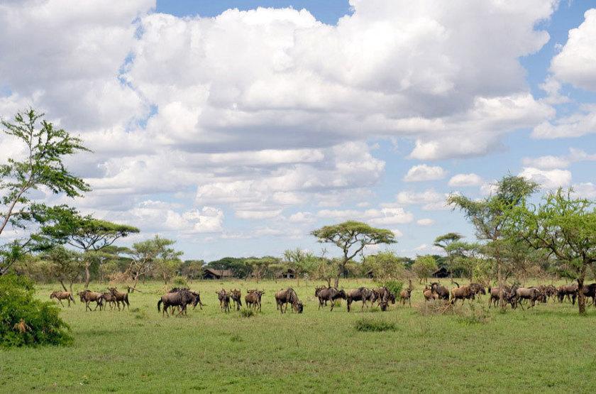 Ikoma bush camp   gnous devant le camp slideshow