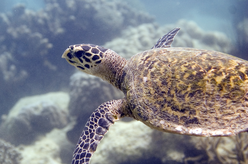 Hawksbill turtle slideshow