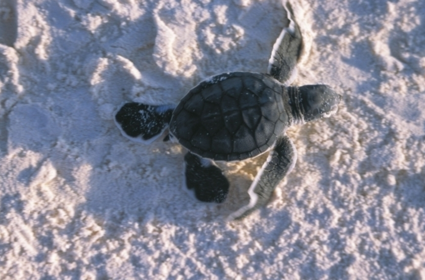 Mnemba island turtle slideshow