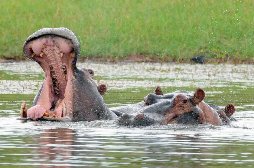 Hippos slideshow