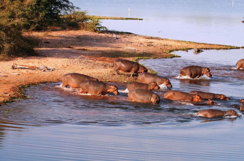 Changa hippos slideshow