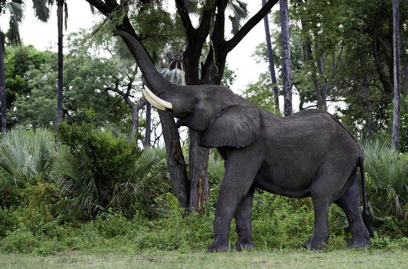 Little Tubu, concession de Jao, Okavango, Botswana, éléphant