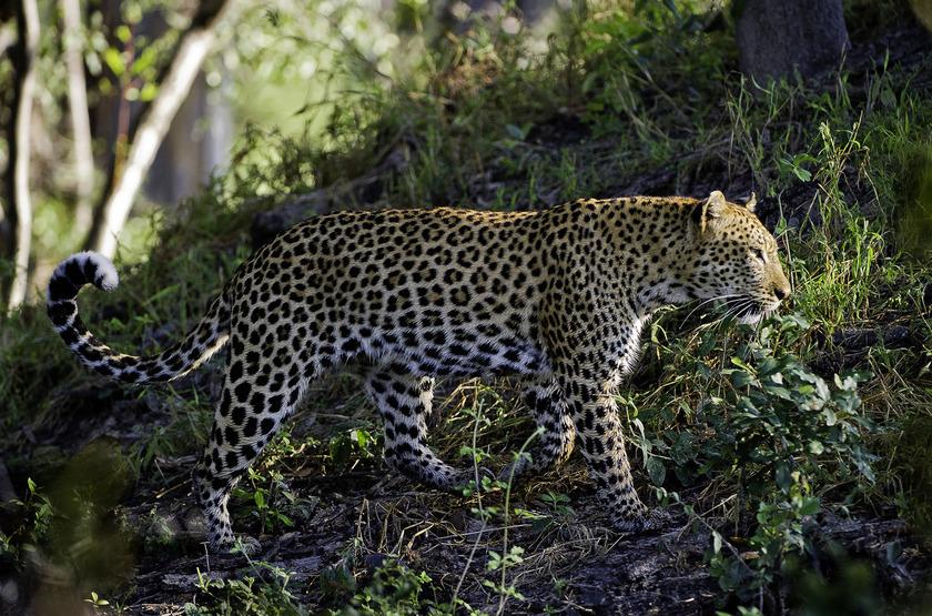 Little Tubu, concession de Jao, Okavango, Botswana, léopard
