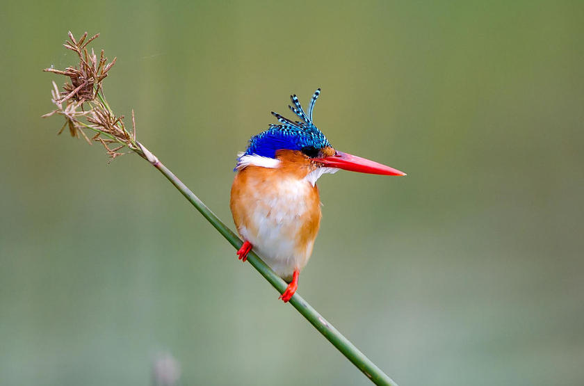 Little Tubu, concession de Jao, Okavango, Botswana, kingfisher