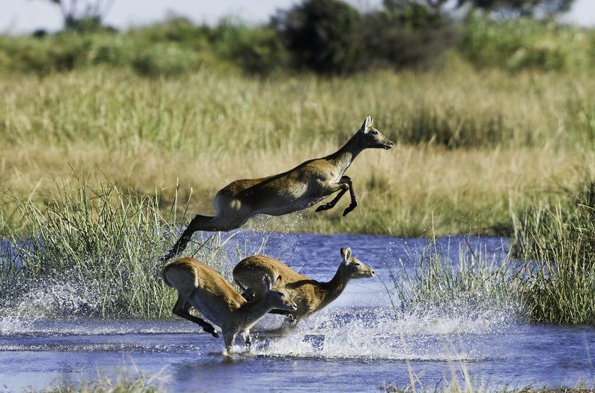Duma Tau Camp, rivière de Savuti, Botswana, lechwes