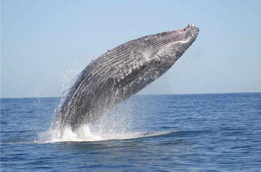 Paradisier, lagon d'Ifaty, Madagascar, baleine