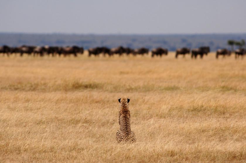 Pioneer Camp Serengeti, Tanzanie, migration des gnous