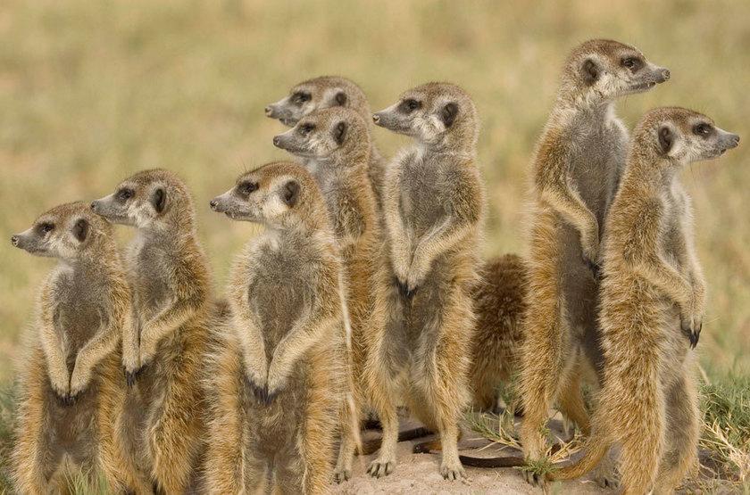 Jack's Camp, Pan du Makgadikgadi, Botswana, suricates