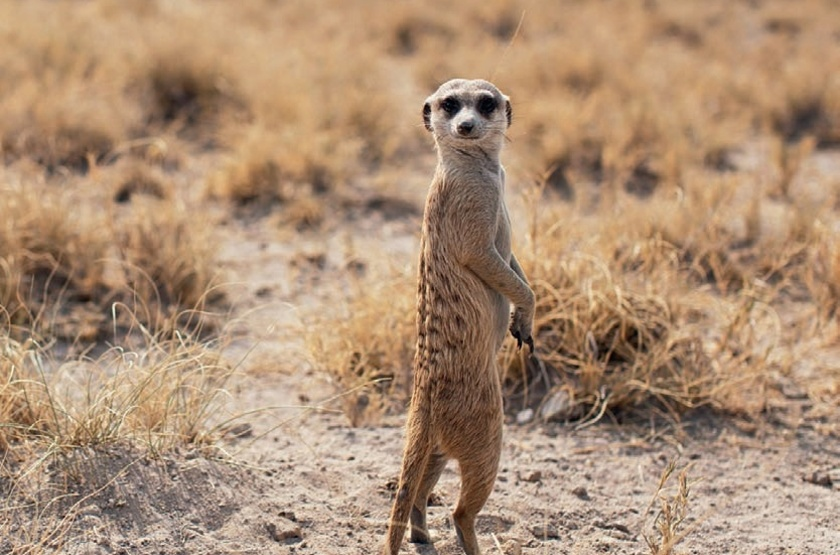 San Camp,  désert du Kalahari, Botswana, suricate