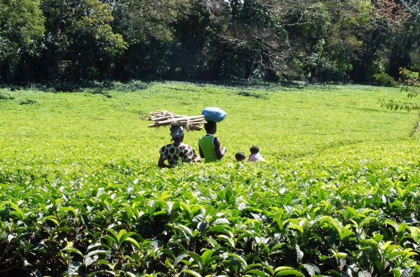 Satemwa Estate Huntingdon House, Thyolo, culture du thé