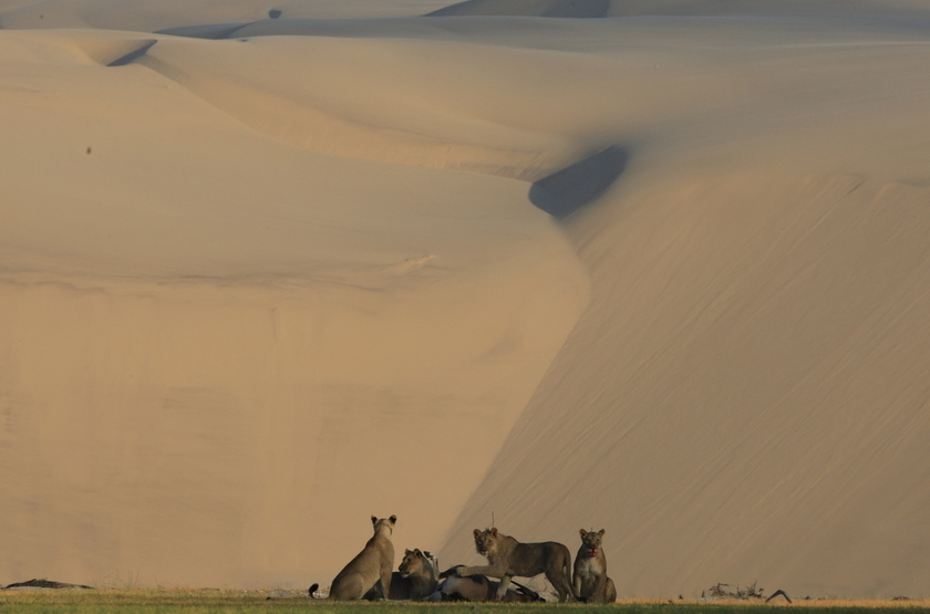 Hoanib Skeleton Coast Camp, Namibie, lions du désert