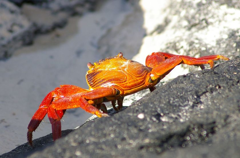 Crabe rouge slideshow