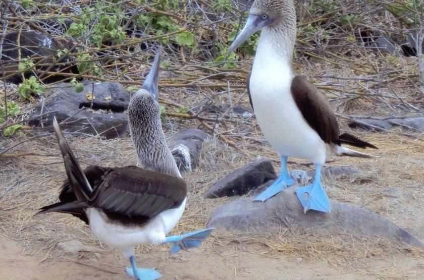 Galapagos Safari Camp, Santa Cruz, Equateur, fous à pattes bleu