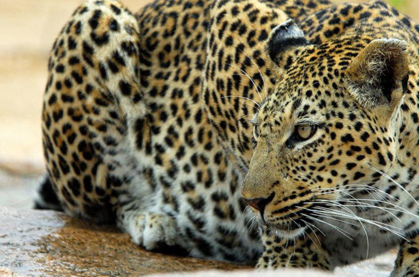 Ulusaba Sir Branson's Lodges, Sabi Sand, Afrique du Sud, safari