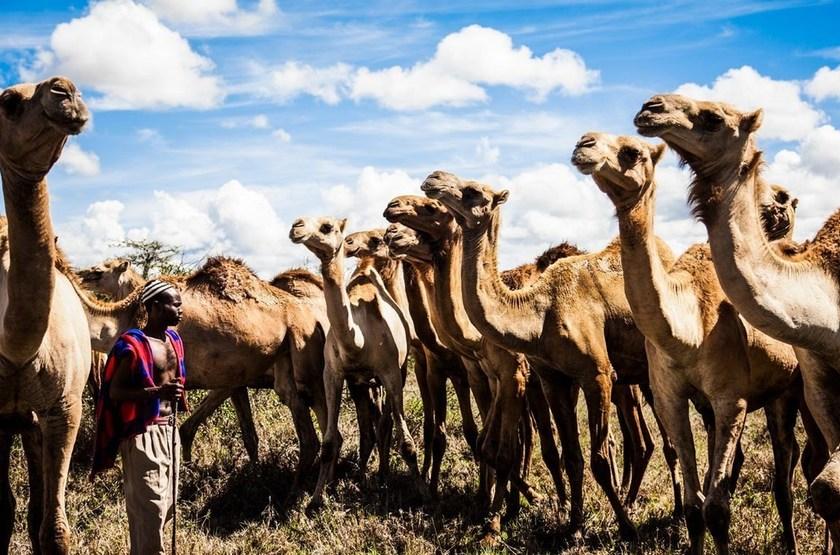 Segera Retreat, Laikipia, Kenya, chameaux