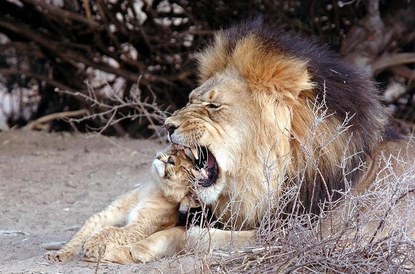 Black maned lion slideshow