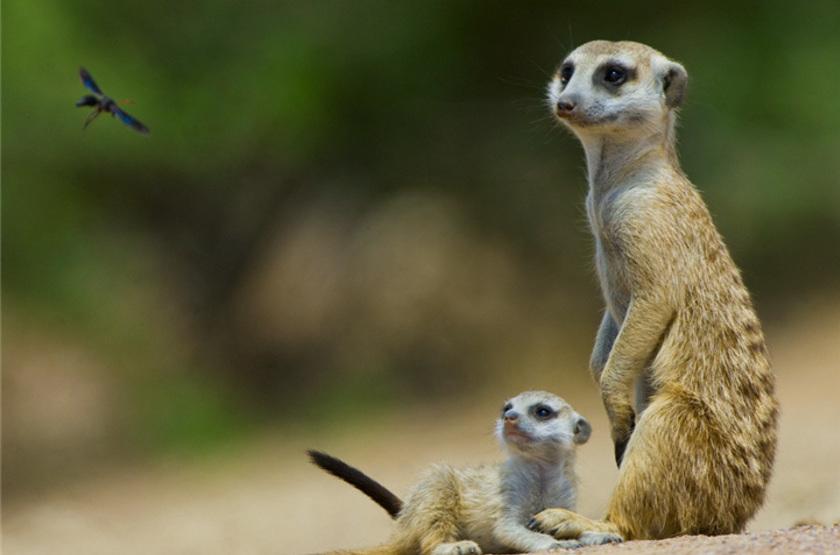 Meerkats slideshow