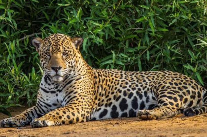 Brésil - Bateau Mutum Expeditions - Jaguar