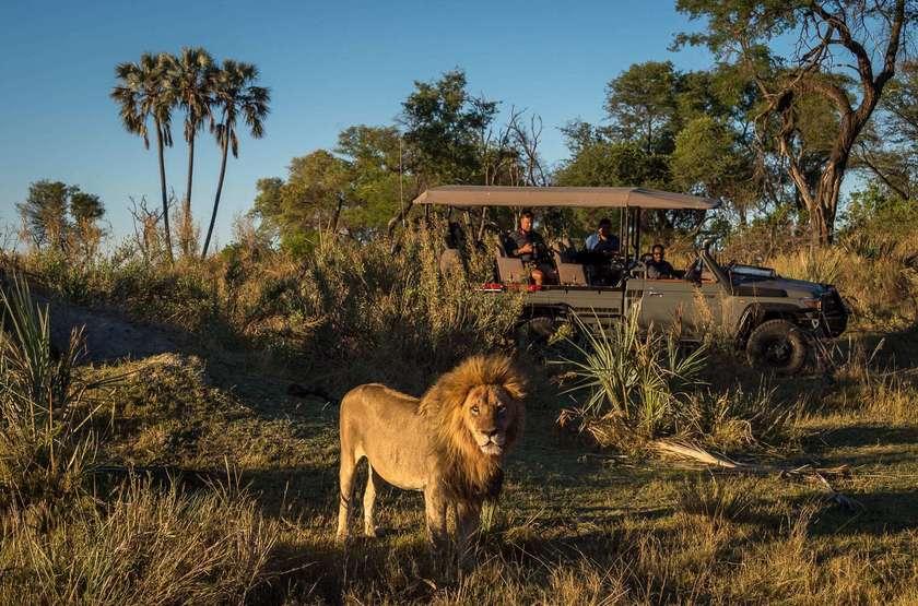 Qorokwe, Delta de l'Okavongo, Botswana, safari, lion, véhicule