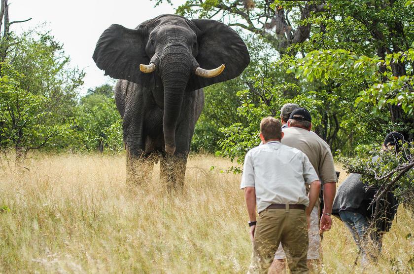 Face à face avec un éléphant à Camp Hwange