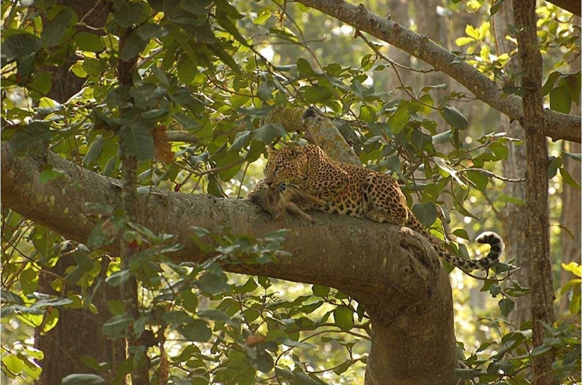 Taj Baghvan Wildlife Resort, Parc de Pench, Inde, safari, léopard
