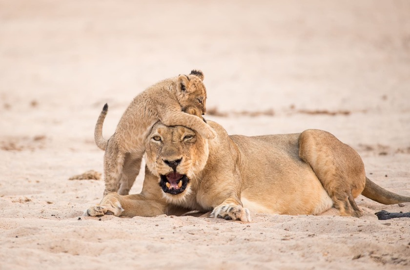 Chikwenya Camp, Parc de Hwange,  Zimbabwe,  lions, safari