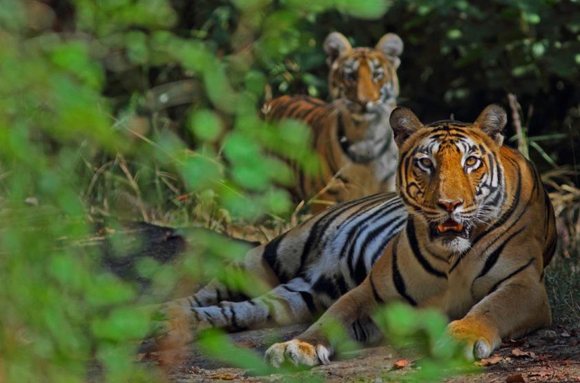 Reni Pani Jungle Lodge, Satpura Reserve, Inde, safari